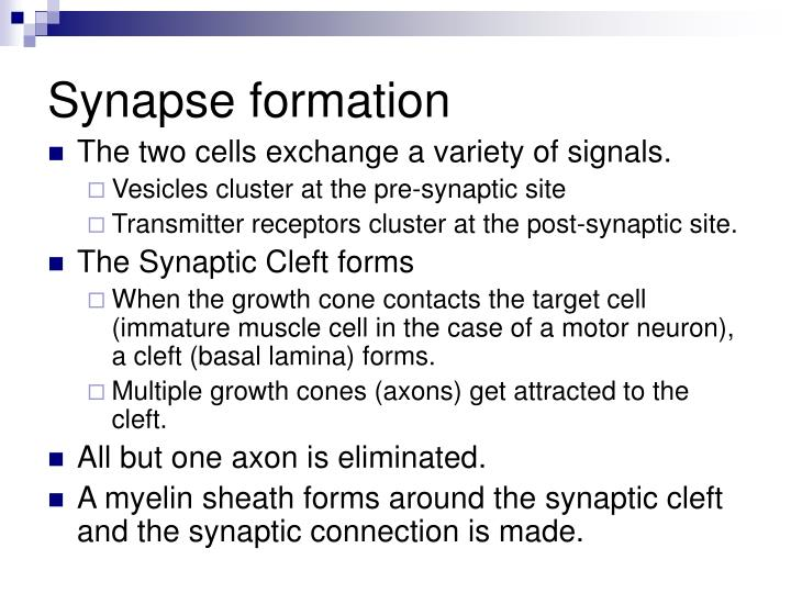 Synapse formation