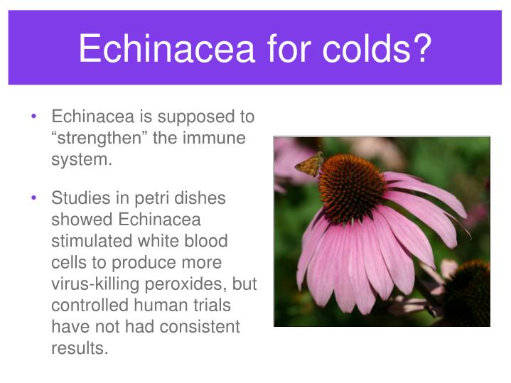 Echinacea for colds?
