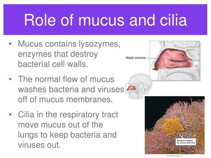 Role of mucus and cilia