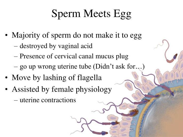 Sperm Meets Egg