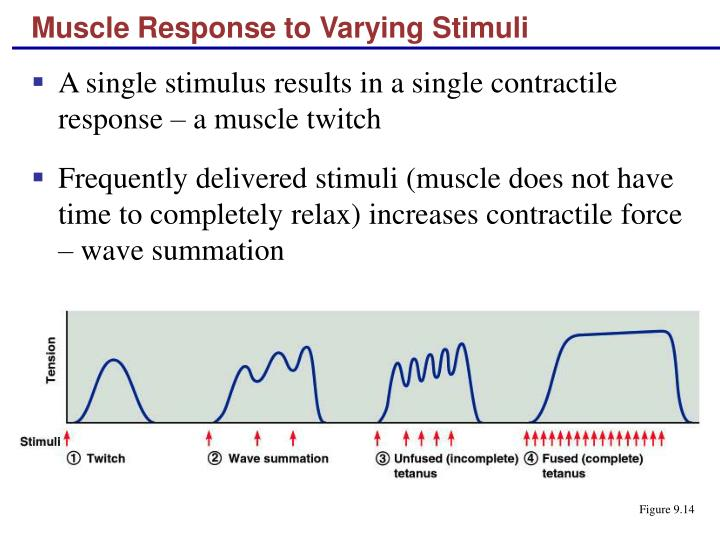 Muscle Response to Varying Stimuli