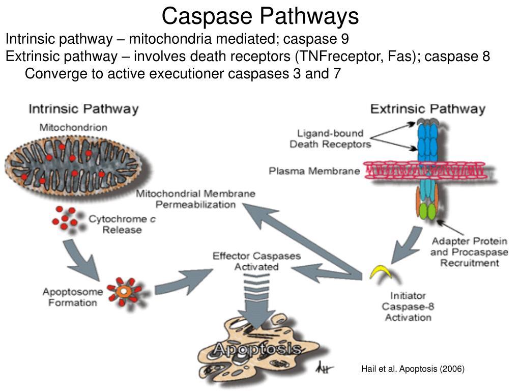 Caspase Pathways