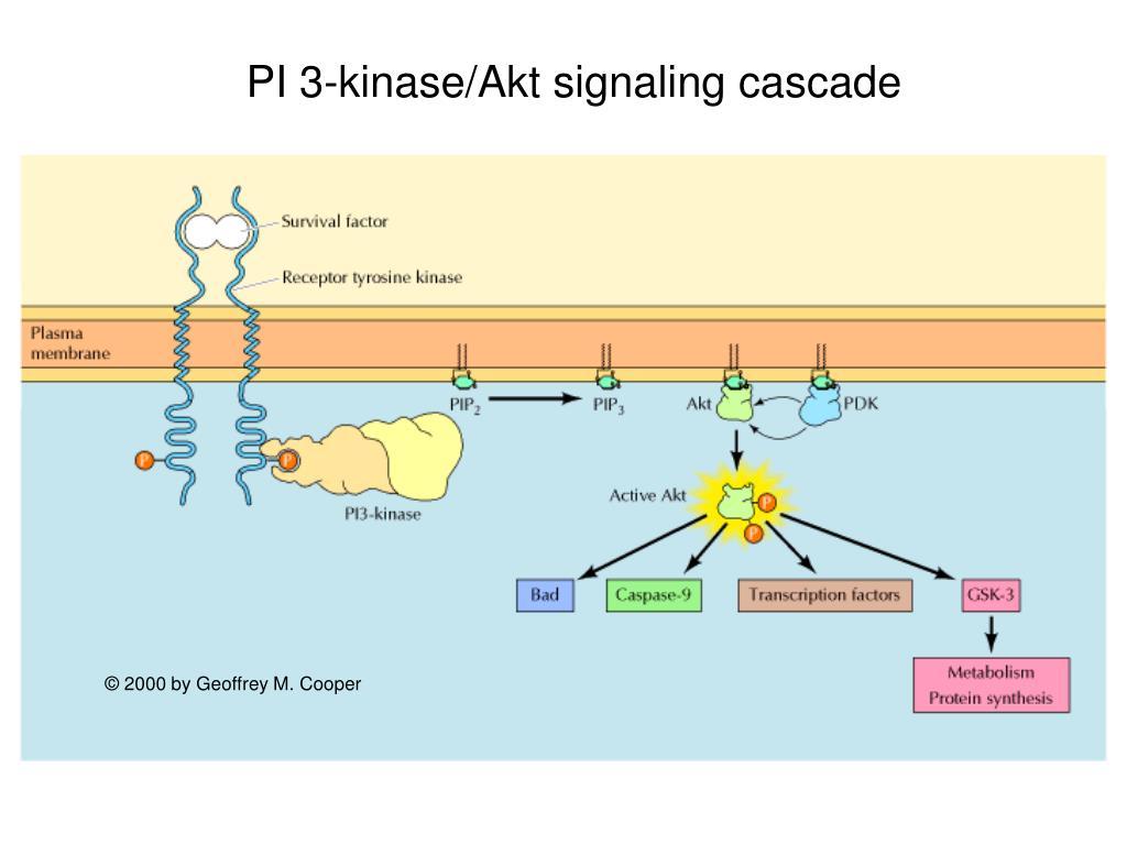 PI 3-kinase/Akt signaling cascade