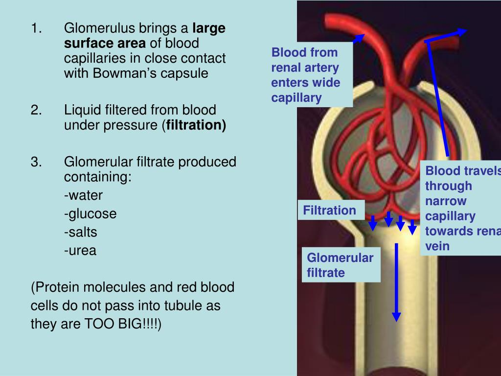 Blood from renal artery enters wide capillary