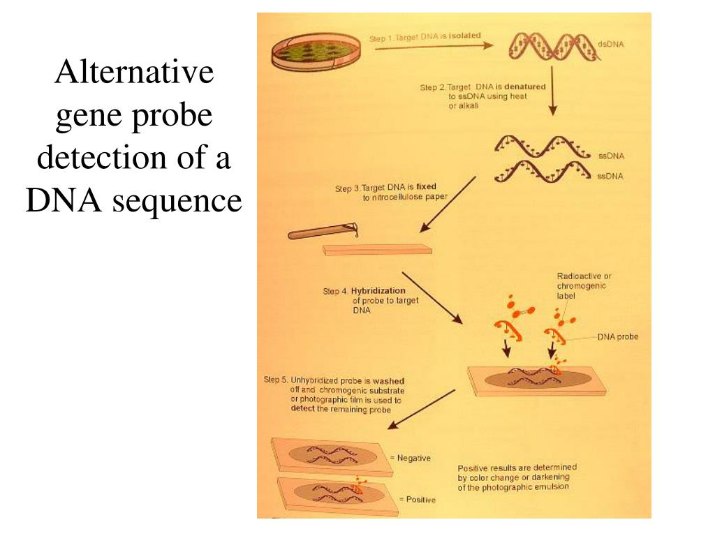 Alternative gene probe detection of a DNA sequence