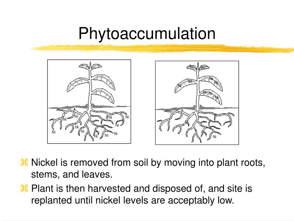 Phytoaccumulation