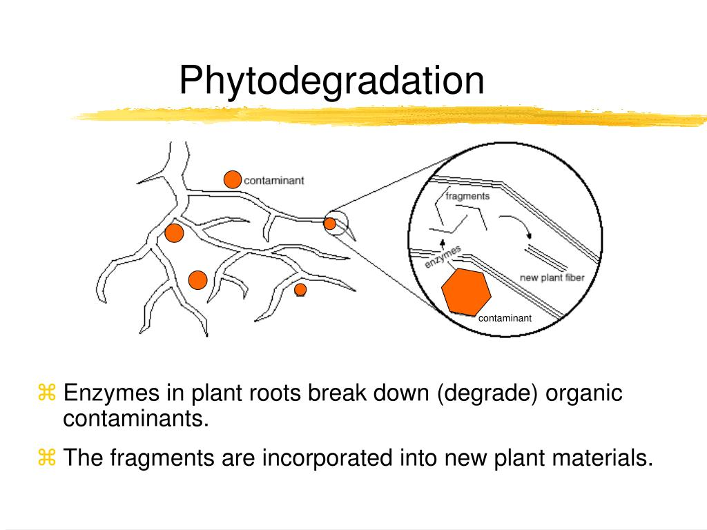 Enzymes in plant roots break down (degrade) organic contaminants.