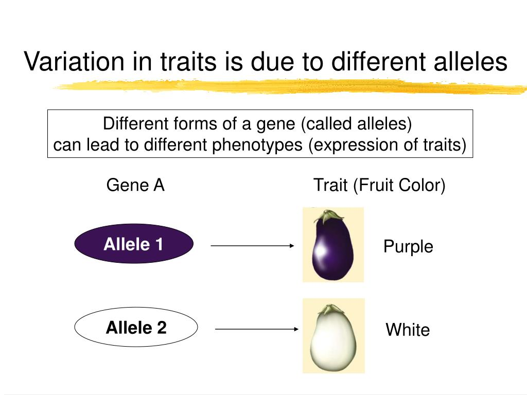 Variation in traits is due to different alleles