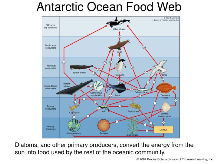 Antarctic Ocean Food Web