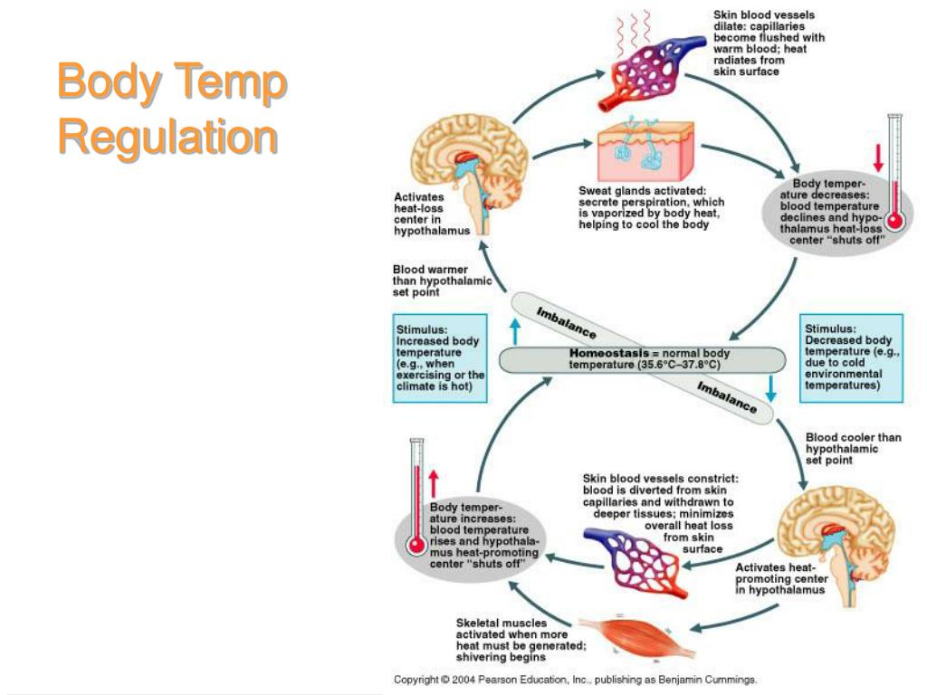 Body Temp Regulation