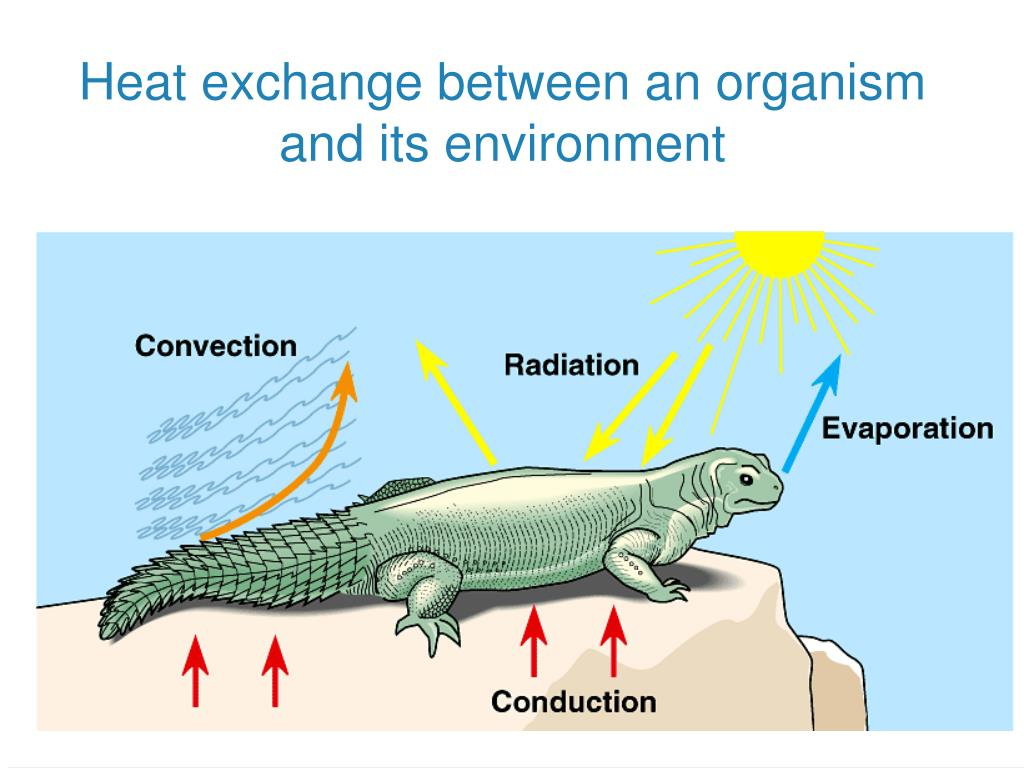 Heat exchange between an organism and its environment