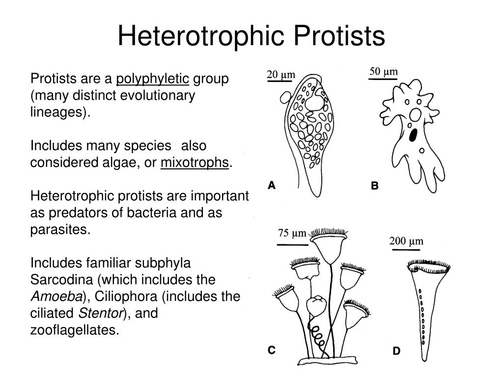 Heterotrophic Protists