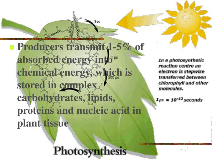 Producers transmit 1-5% of absorbed energy into chemical energy, which is stored in complex carbohydrates, lipids, proteins and nucleic acid in plant tissue