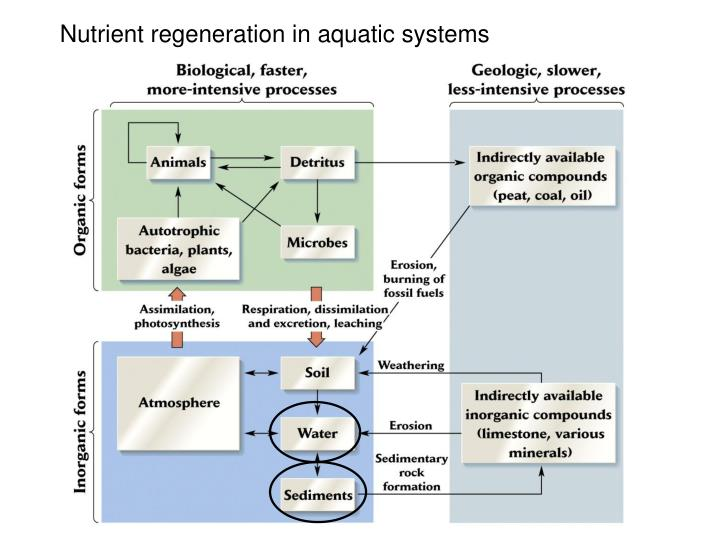 Nutrient regeneration in aquatic systems