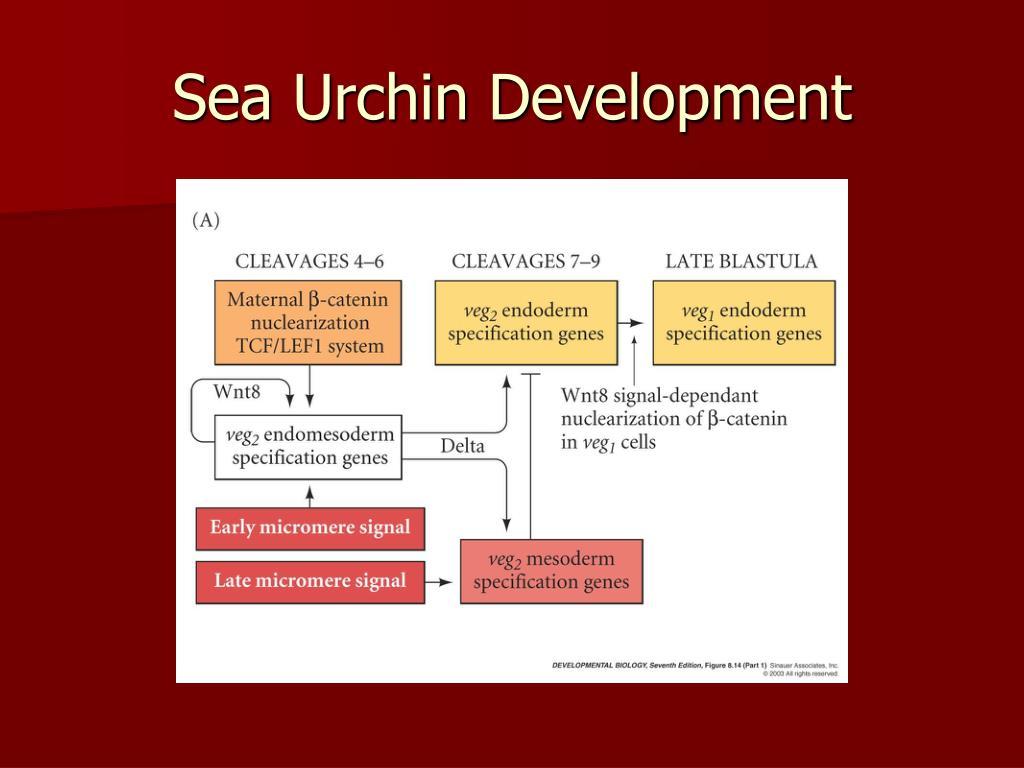 Sea Urchin Development