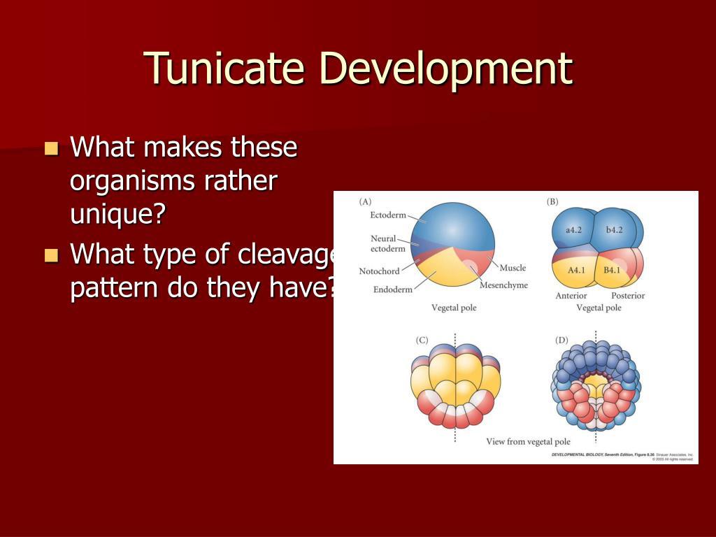 Tunicate Development
