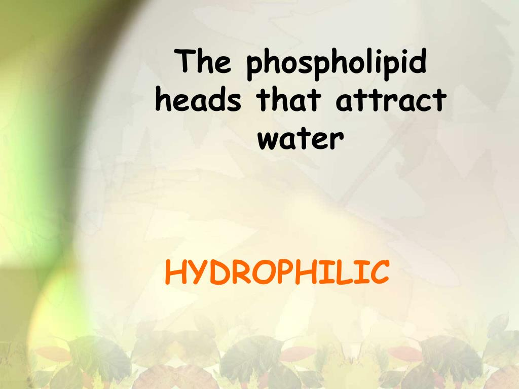 The phospholipid heads that attract water