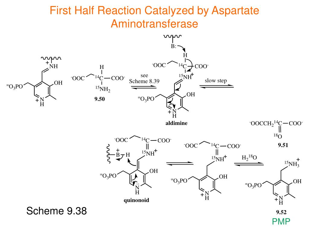 First Half Reaction Catalyzed by Aspartate Aminotransferase