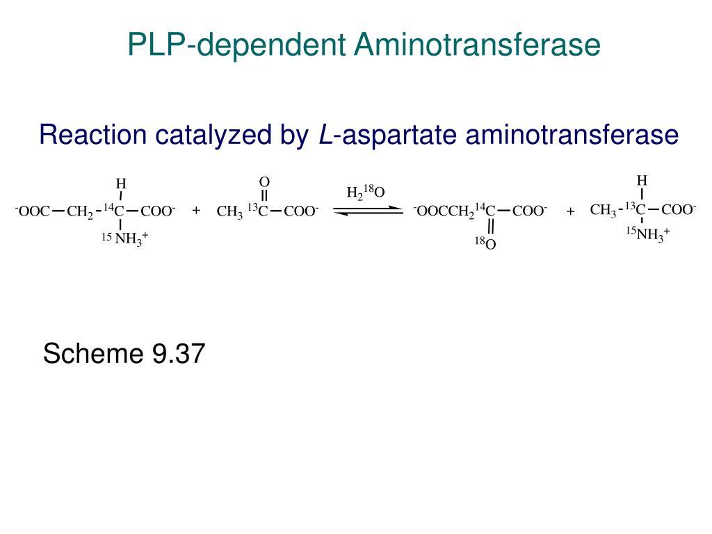 PLP-dependent Aminotransferase