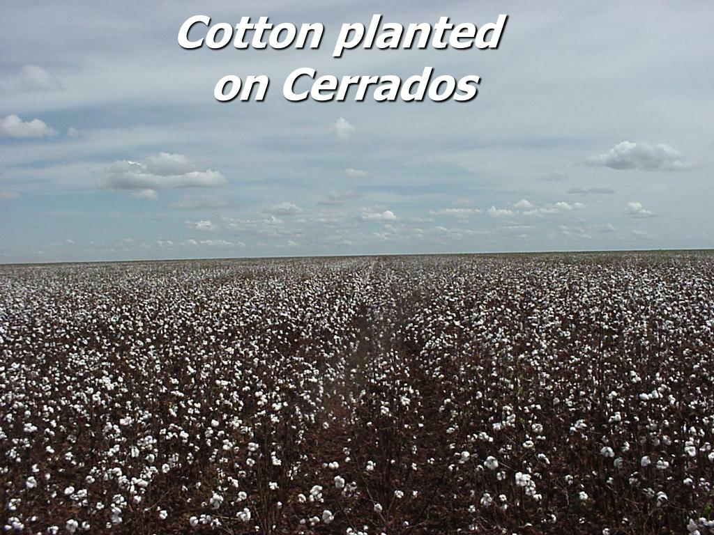 Cotton planted
