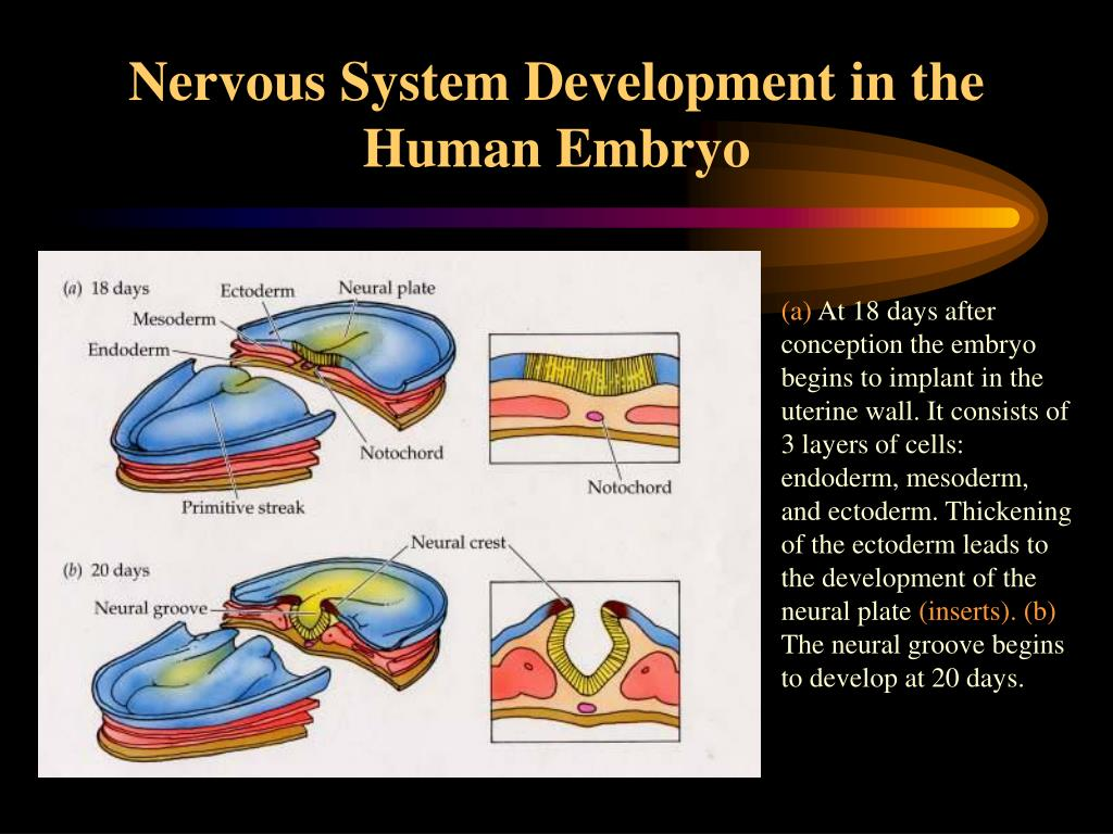 Nervous System Development in the Human Embryo