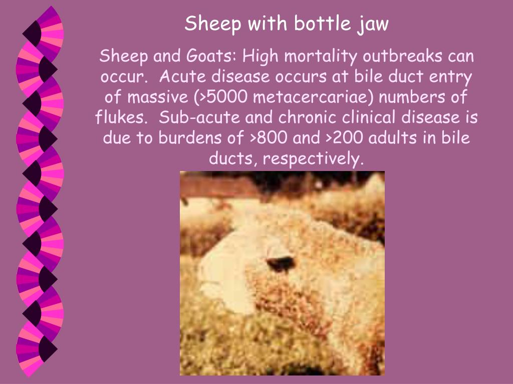 Sheep with bottle jaw