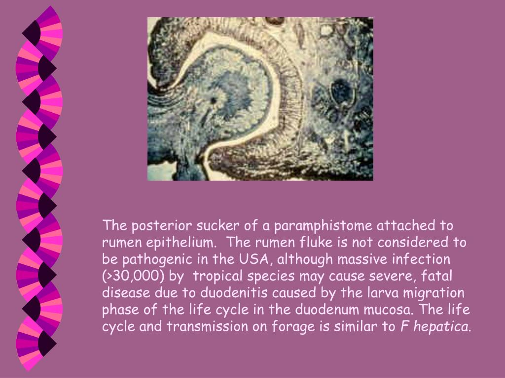 The posterior sucker of a paramphistome attached to rumen epithelium.  The rumen fluke is not considered to be pathogenic in the USA, although massive infection (>30,000) by  tropical species may cause severe, fatal disease due to duodenitis caused by the larva migration phase of the life cycle in the duodenum mucosa. The life cycle and transmission on forage is similar to