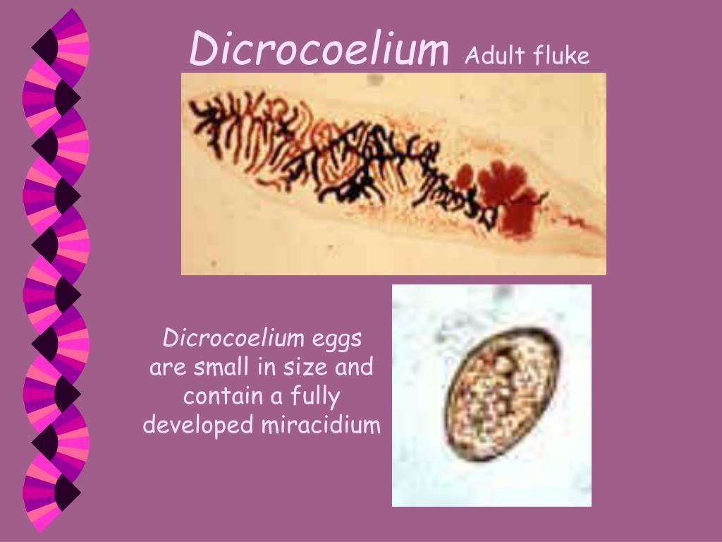 Dicrocoelium