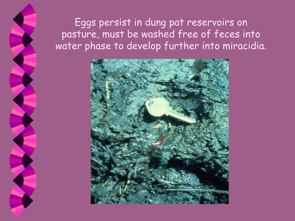 Eggs persist in dung pat reservoirs on pasture, must be washed free of feces into water phase to develop further into miracidia.