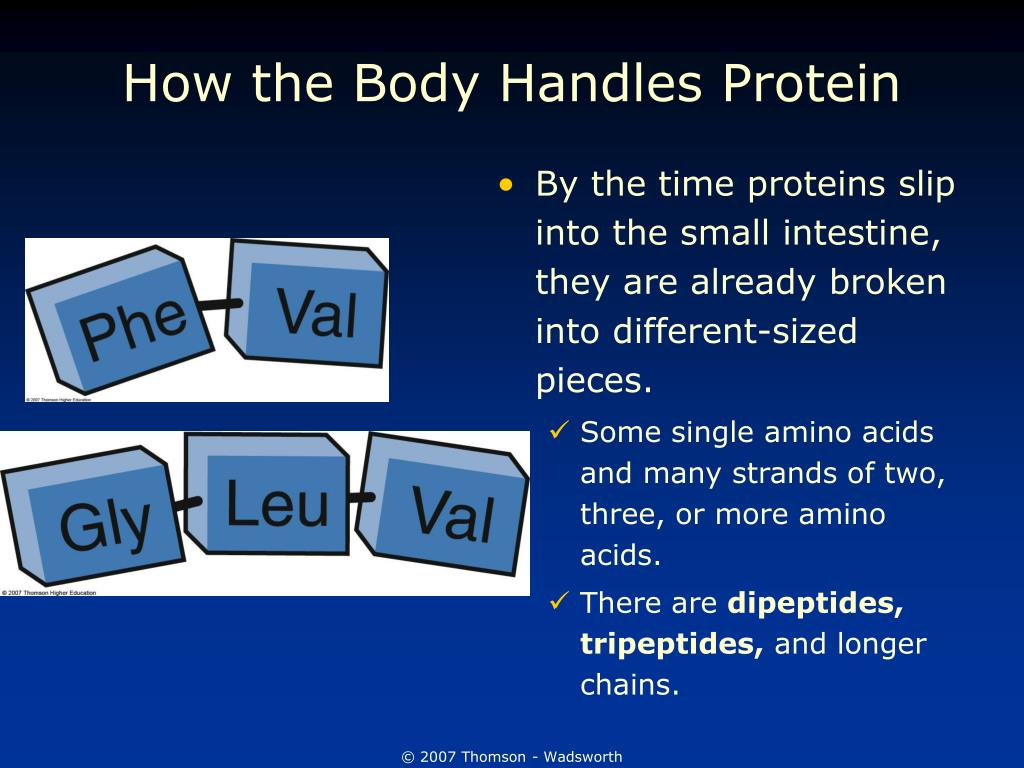 How the Body Handles Protein