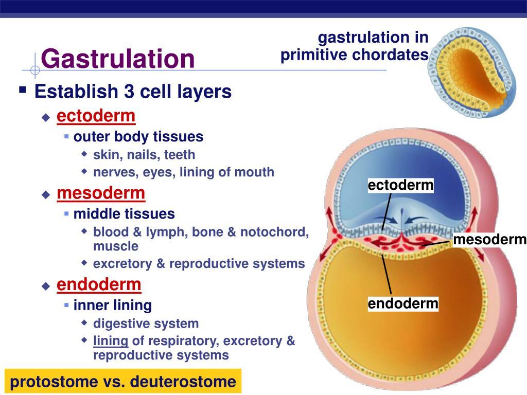gastrulation in