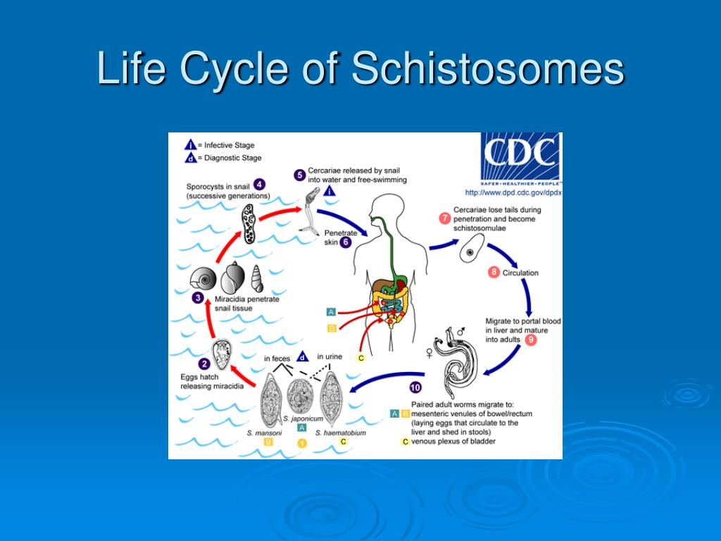 Life Cycle of Schistosomes