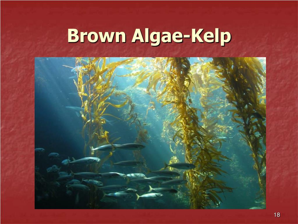 Brown Algae-Kelp