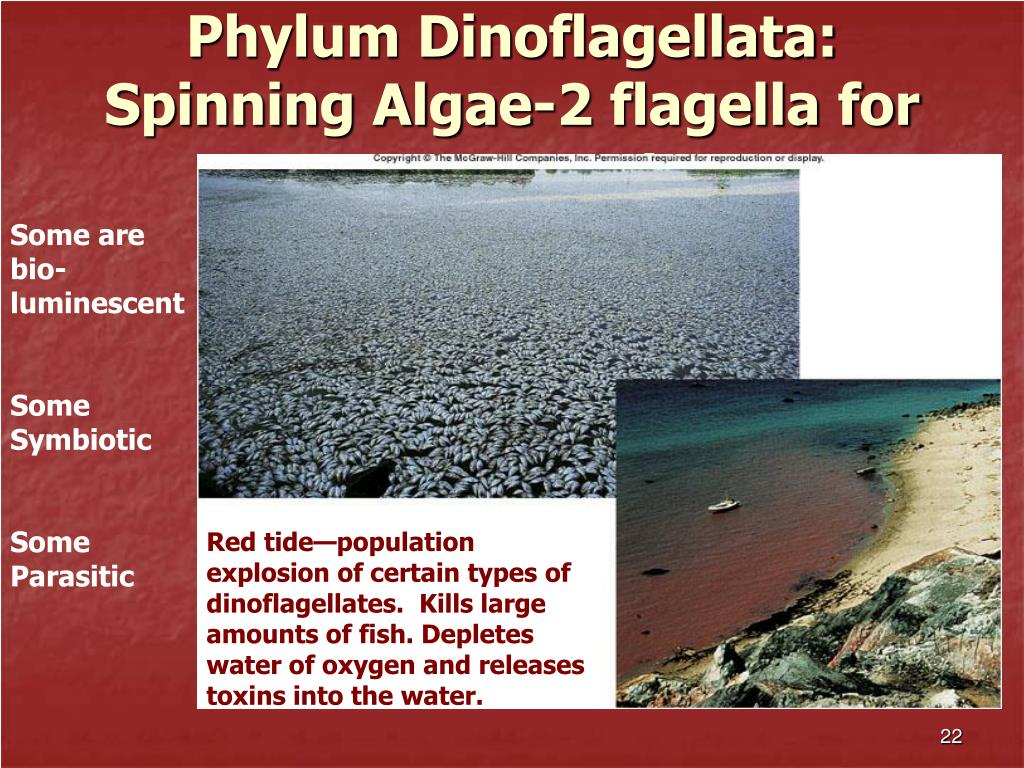 Phylum Dinoflagellata:  Spinning Algae-2 flagella for movement
