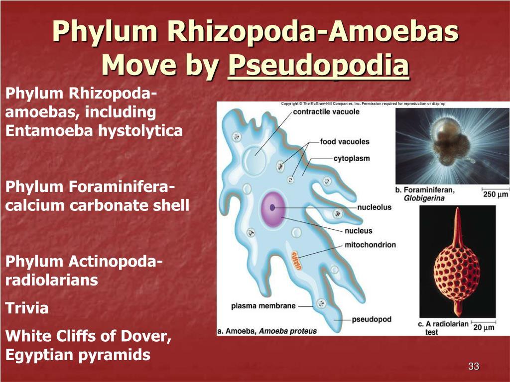 Phylum Rhizopoda-Amoebas