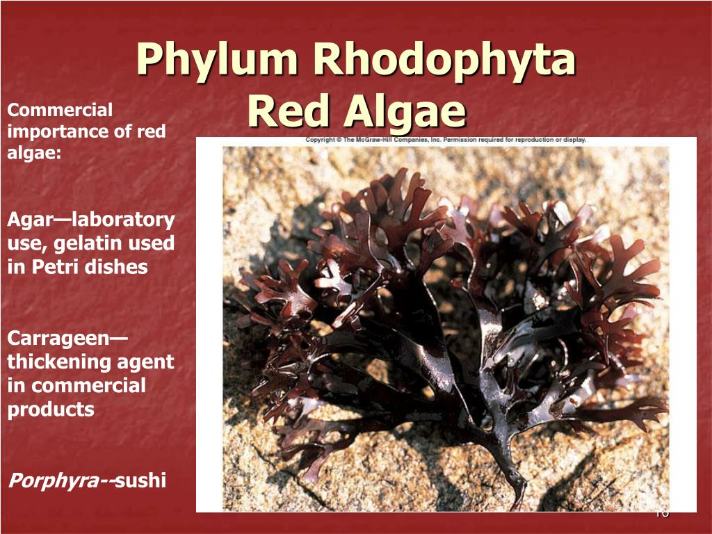 Phylum Rhodophyta