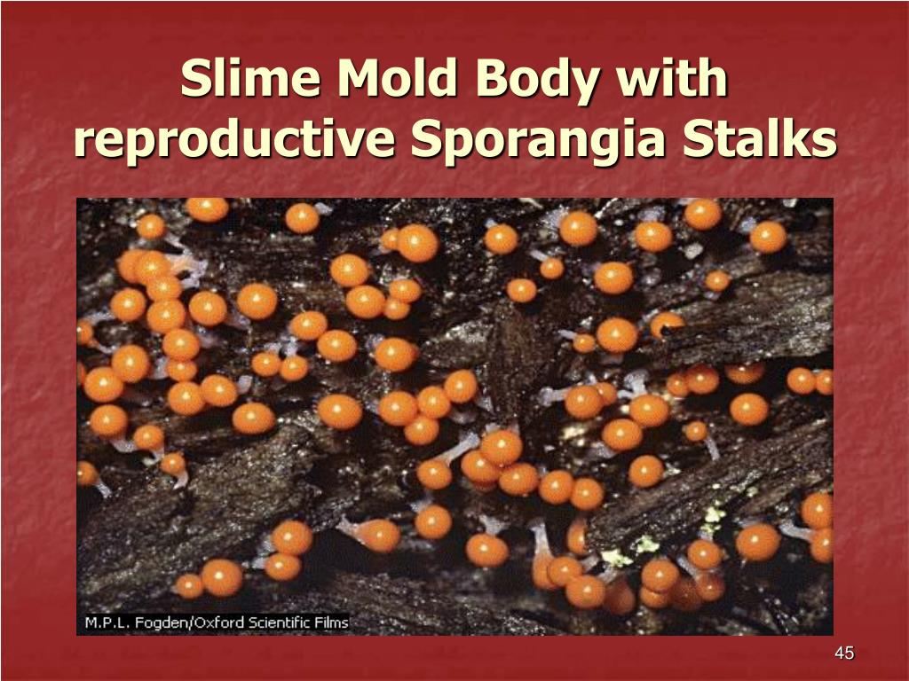 Slime Mold Body with reproductive Sporangia Stalks