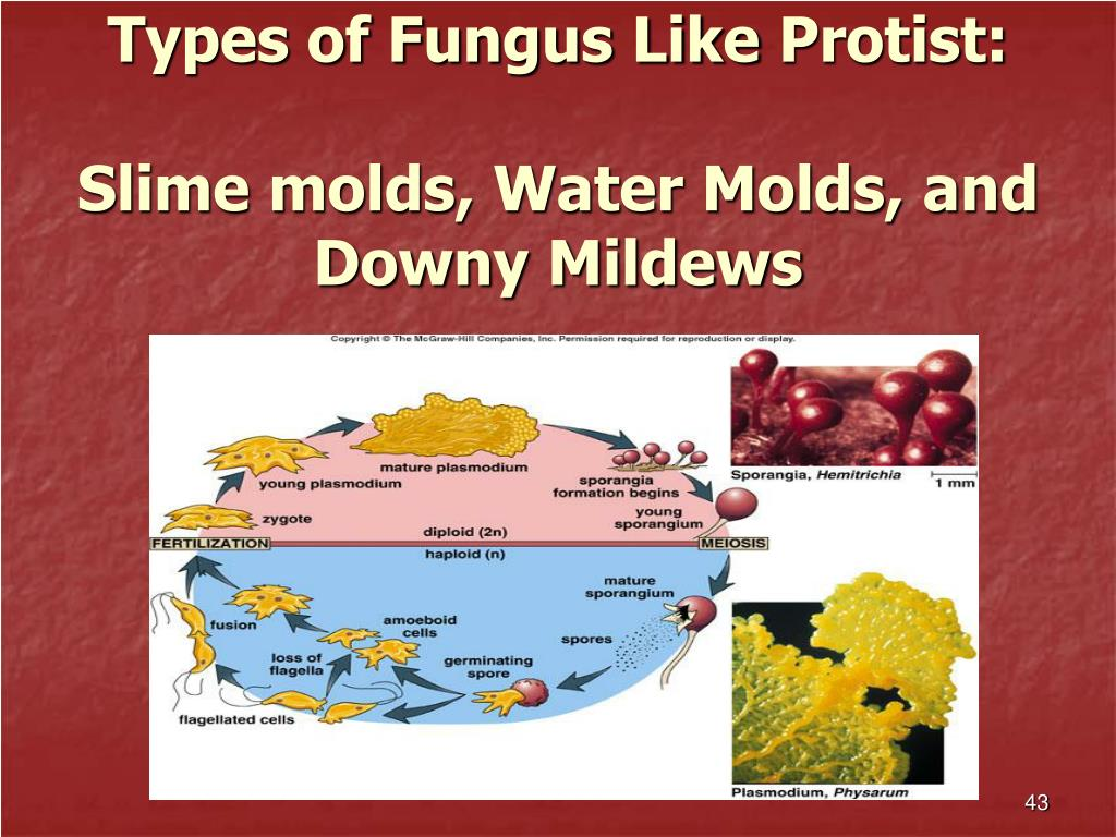Types of Fungus Like