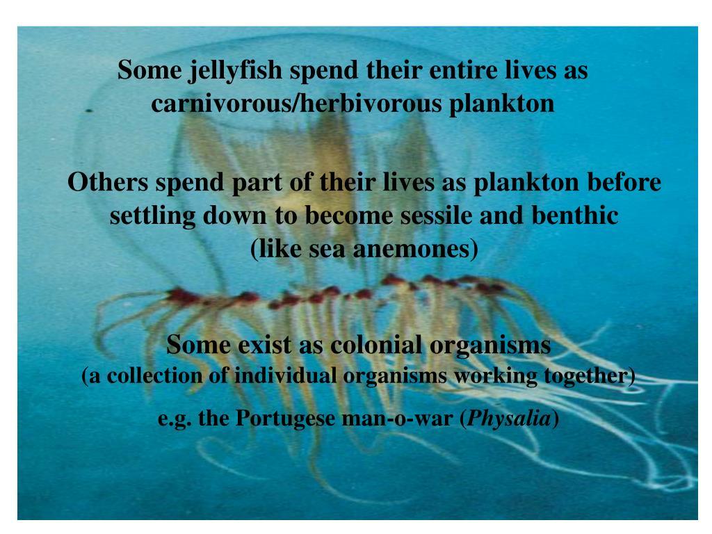 Some jellyfish spend their entire lives as carnivorous/herbivorous plankton