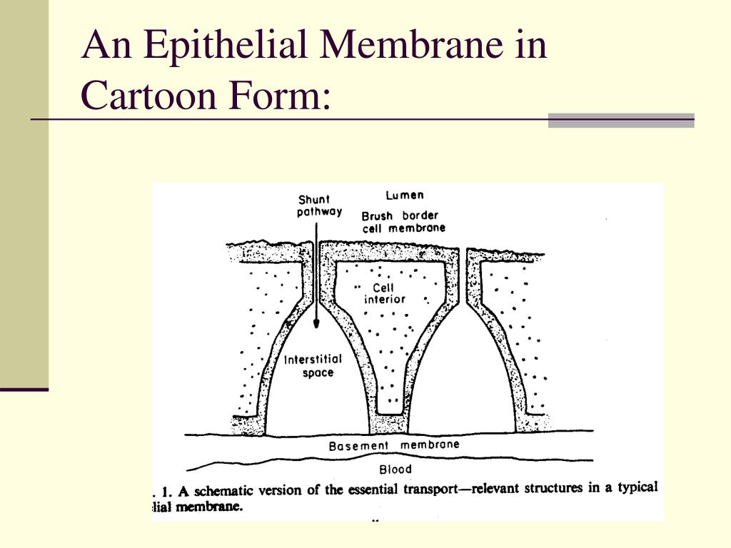An Epithelial Membrane in Cartoon Form: