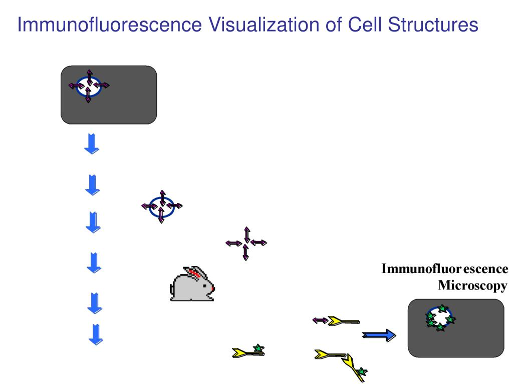 Immunofluorescence Visualization of Cell Structures