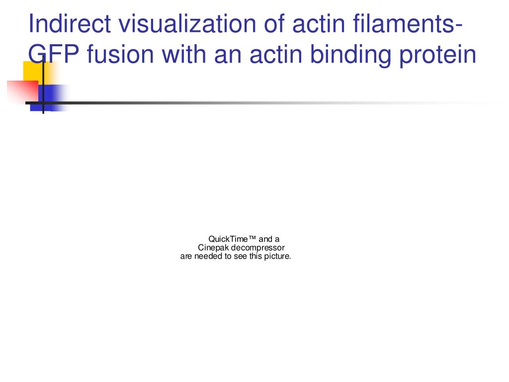 Indirect visualization of actin filaments- GFP fusion with an actin binding protein