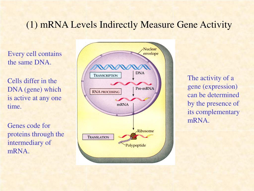(1) mRNA Levels Indirectly Measure Gene Activity