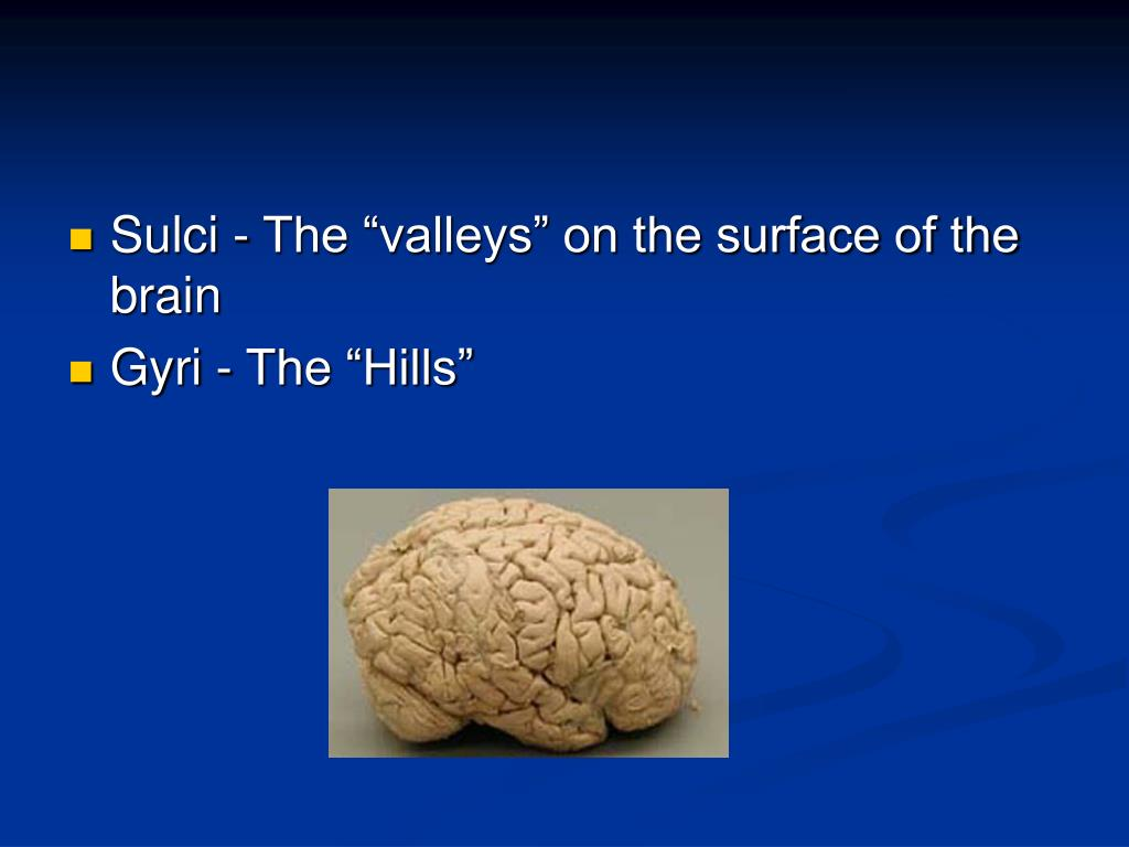 "Sulci - The ""valleys"" on the surface of the brain"