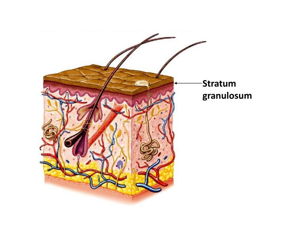 Stratum granulosum