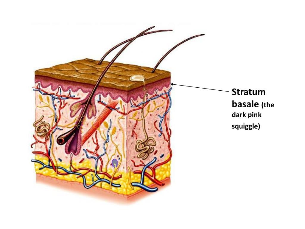 Stratum basale