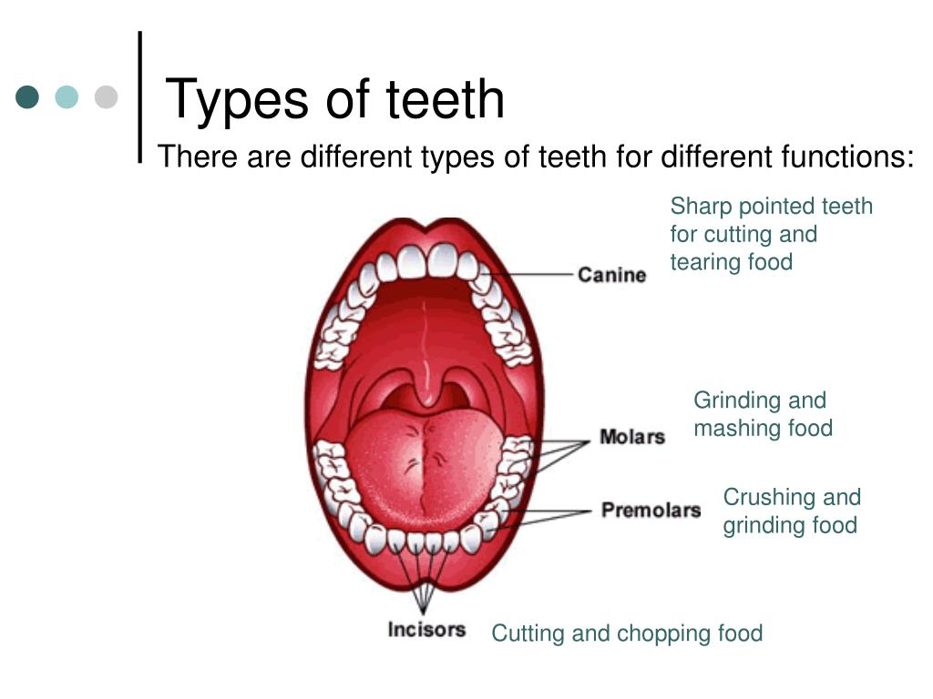 There are different types of teeth for different functions: