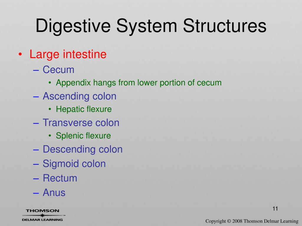 Digestive System Structures