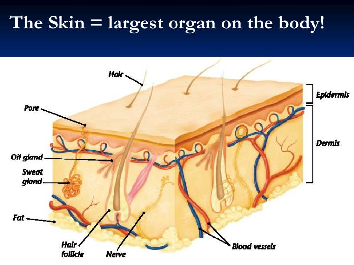 The Skin = largest organ on the body!