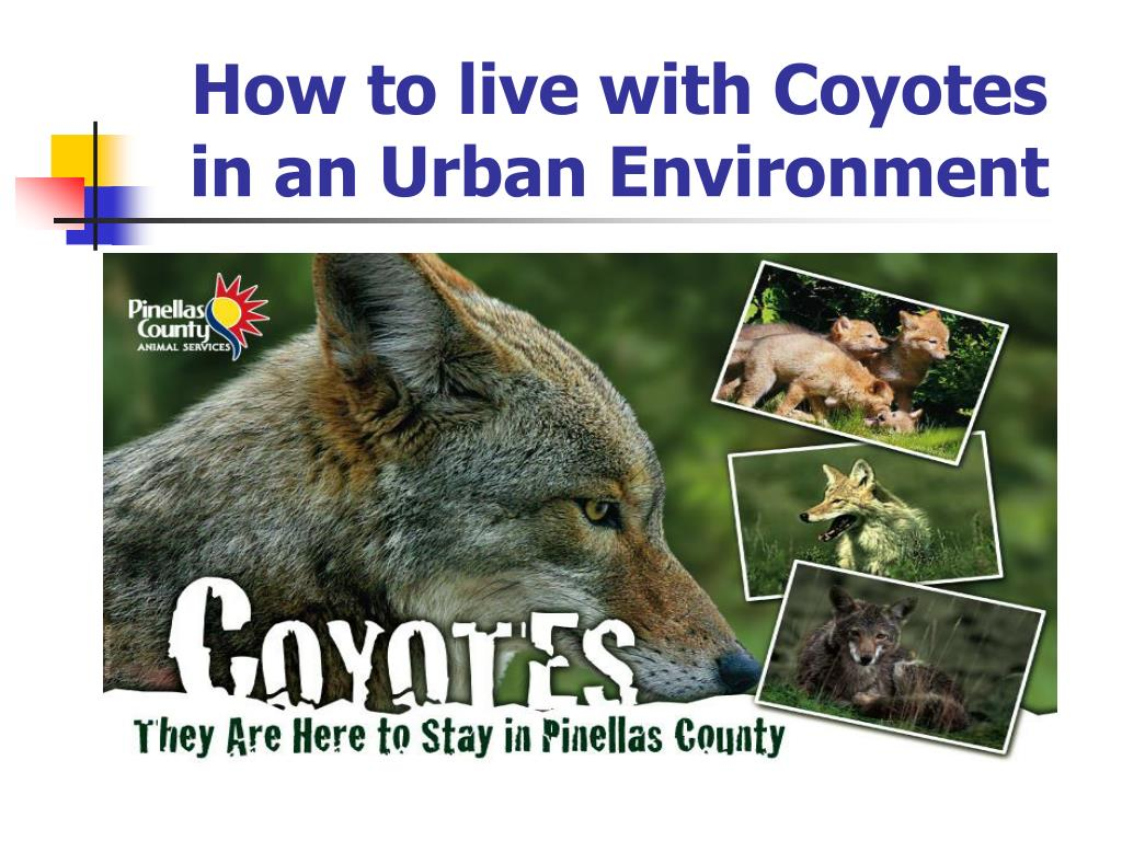 How to live with Coyotes in an Urban Environment